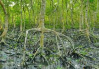 Reserva de Guaratiba abriga e preserva floresta de mangue
