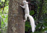 Espécie rara de esquilo é vista na Zona Oeste no Parque Estadual da Pedra Branca